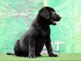 英美两国冠军血统纯种拉布拉多幼犬小狗青岛出售转让血统书及芯片