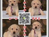 本地养殖场出售中型犬 拉布拉多 边牧 萨摩耶金毛哈士奇包售后