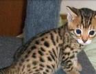 曼基康矮脚蓝猫豹猫暹罗各种世界名猫济南基地