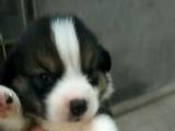 出售神犬小七同版拉布拉多幼犬三色柯其幼犬