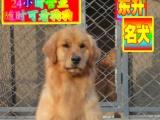 北京出售纯种健康金毛 ——种公配种——微信视频看全天营业