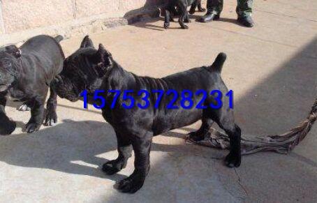 卡斯罗多少钱一只,哪里出售血统卡斯罗幼犬,卡斯罗幼犬价格