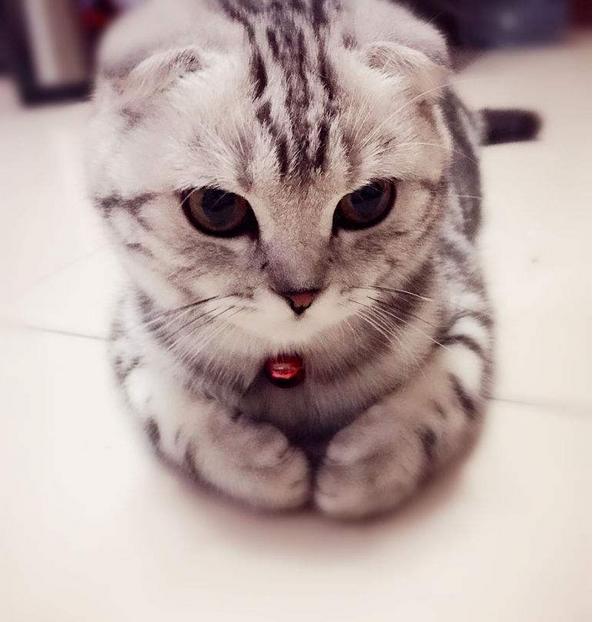 出售純種美短虎斑貓 多重保障 完美售后