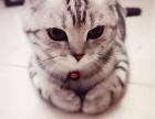出售纯种美短虎斑猫 多重保障 完美售后