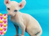 加拿大无毛猫 斯芬克斯 蓝眼 纯种DDMM多只可选