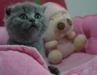 出售蓝猫短毛猫,自家小蓝猫,疫苗全