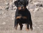 佛山纯种罗威纳价格 佛山哪里能买到纯种罗威纳犬