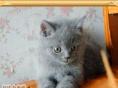 CFA赛级血统 英国短毛猫 英短蓝猫 幼猫 可预订