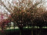 成都垂丝海棠种植基地郫都区名川园艺场供应垂丝海棠