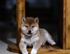 柴犬怎么卖的 乌鲁木齐日系柴犬多少钱 乌鲁木齐柴犬的价格