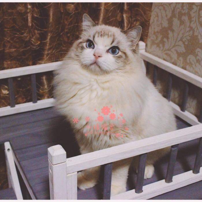 西安哪里卖布偶猫较便宜多少钱一只 购买包健康多久