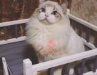 布偶猫福州哪里有卖的 布偶猫价格 布偶猫多少钱