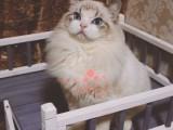 布偶猫多少钱一只 长春哪里有卖布偶猫 布偶猫图片