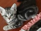 双c纯种美国银虎斑蝴蝶纹短毛猫找新家 无折耳基因