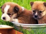 天津出售3个月泰迪犬 疫苗齐全 包犬瘟细小