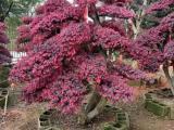 红继木价格,造型红继木基地,湖南红继木球,批发造型红继木