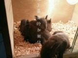 魔王幼崽合格鼠奶鼠,