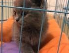 家养精品波斯 布偶 金吉拉 蓝猫 英美短品相完美