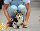 专业繁殖柯基犬养殖基地 可以来犬舍里挑选