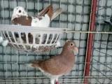 长期出售异色信鸽