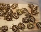出售苏卡达 缅甸陆龟 红腿 南石金钱龟