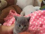 美短蓝猫可爱宝宝