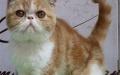今天下单包邮 宠物加菲猫活体 异国短毛猫加菲猫咪