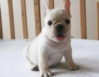 重庆出售纯种法国斗牛犬 幼犬三个月 包纯种 品相论价