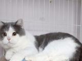 精品蓝猫1200元特价的1000,包外驱,精喂养