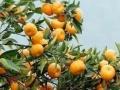 柑桔橙子代购代销清洗打蜡分级包装配送
