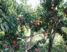 南山镇明洋村高海拔又脆又甜水蜜桃