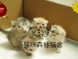 纯种健康 疫苗做完 可体检保健康波斯猫咪弟弟妹妹