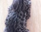 自己养的母豹猫