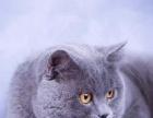 铮宠猫舍专业繁育各种猫咪