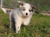 七白到位 智商高 服从性强 纯种边境牧羊犬幼犬出售