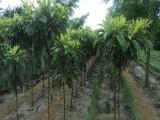 枇杷树苗批发 江苏盐城枇杷树基地