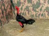 张家界越南斗鸡多少钱一只