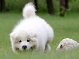 萨摩耶犬聪明文雅忠诚所以很适合与您共度一生