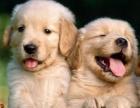 上海高端赛级黄金武士金毛幼犬出售诚信第一品质第一质量第