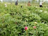 观赏芍药种植基地 山东菏泽芍药种植