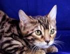 石家庄哪里有卖豹猫 多少钱