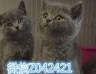 英短一蓝白一蓝猫一银渐层 金吉拉一美短宠物猫 可上门挑选