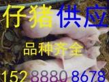 土三元猪苗供应河南省开封市小猪苗批发基地