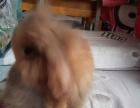 萌萌的小垂耳公兔