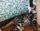 豹猫孟加拉豹猫豹纹猫英短英国短毛猫