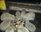 养殖刺猬宠物批发全国可以发货