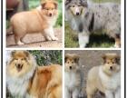 本地犬舍繁殖精品苏格兰牧羊犬犬 健康质保 放心挑选