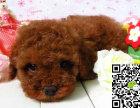 出售纯种红泰迪幼犬 哪里卖健康泰迪多少钱 泰迪价格