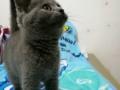 英短蓝猫价不高找新主人