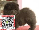 广东中山松狮图片价格 松狮幼犬宠物狗养殖基地 松狮领养赠送
